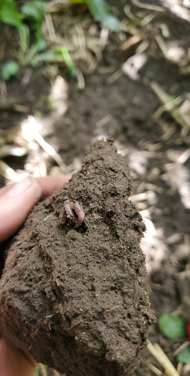 Checking the soil before starting corn silage September 10th