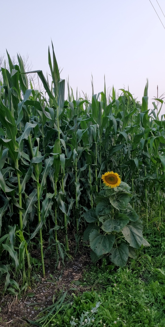 Sometimes the Sunflower comes up a year later  july 26th