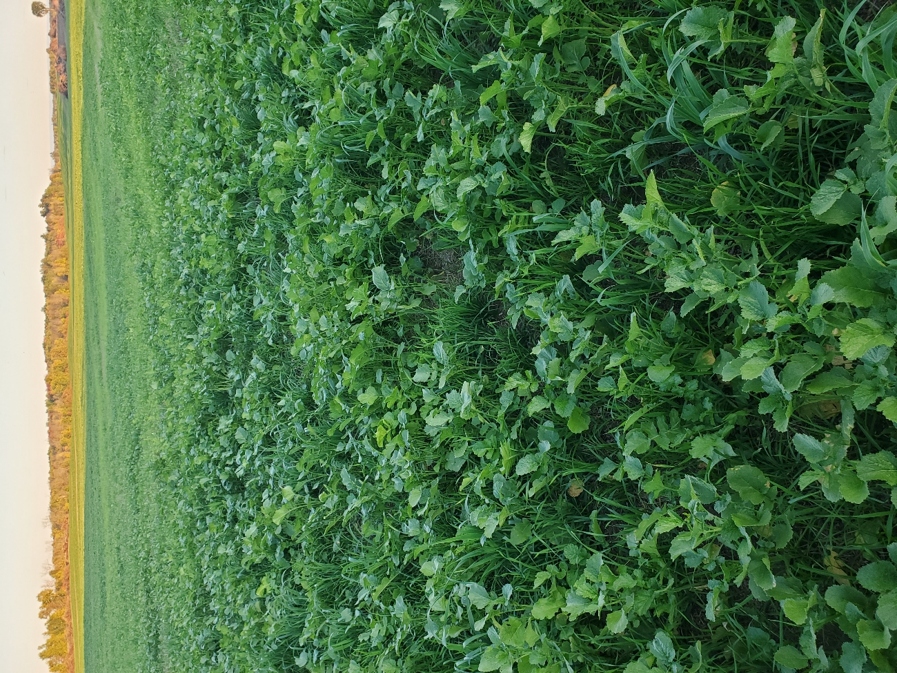"""Newly acquired land got some culture shock this year. This farm was minimum tilled with a """"rotation"""" of corn and beans for 15 plus years. we no-tilled spring wheat, applied manure and planted cover crop August 20th"""