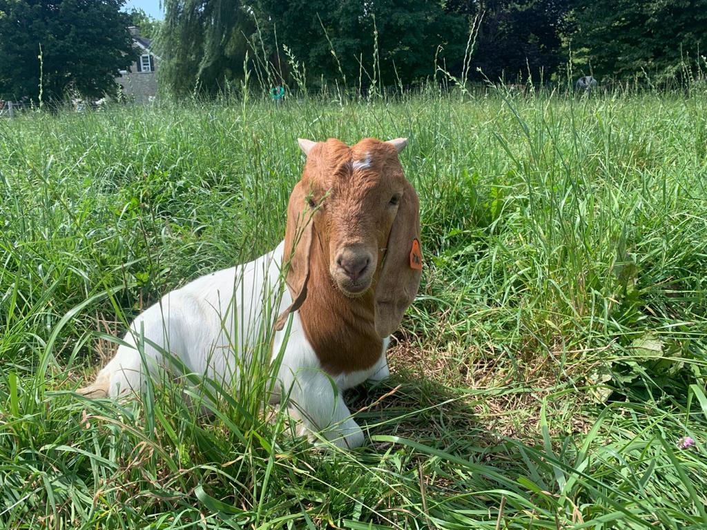 Charlene meat goat close up