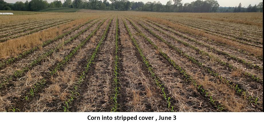 Corn into stripped cover June 3